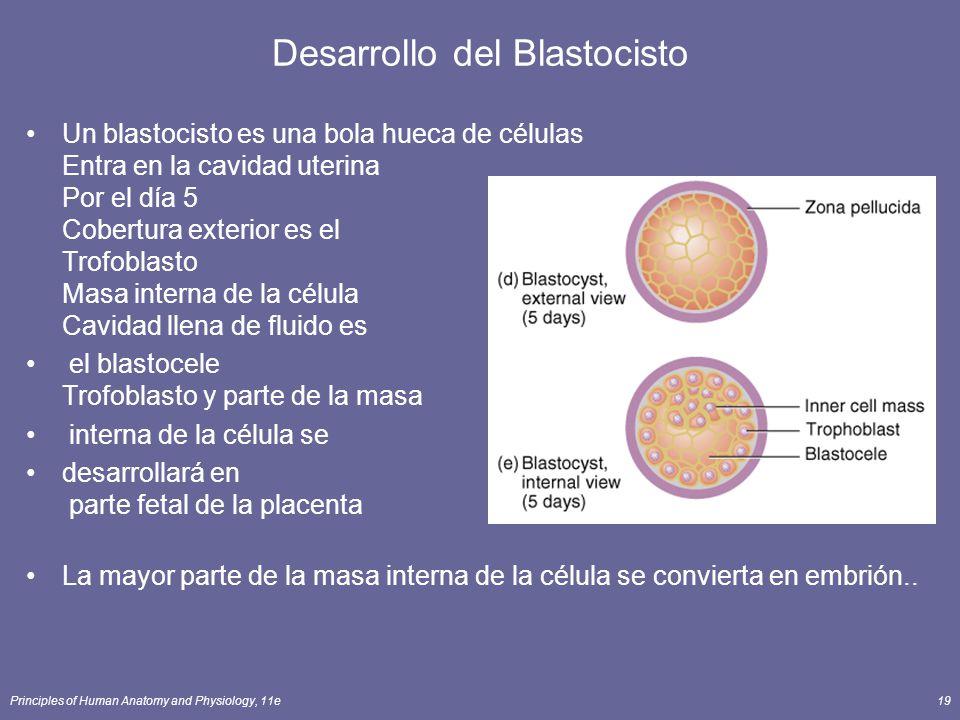 Desarrollo del Blastocisto