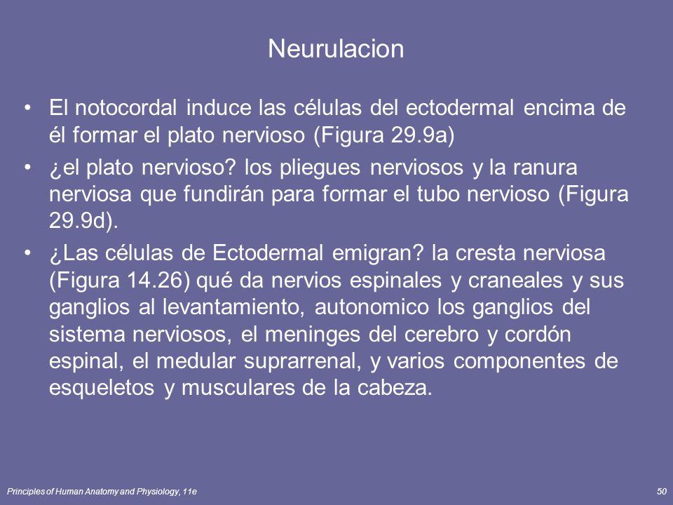 Neurulacion El notocordal induce las células del ectodermal encima de él formar el plato nervioso (Figura 29.9a)