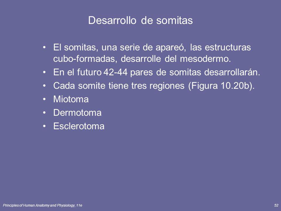 Desarrollo de somitas El somitas, una serie de apareó, las estructuras cubo-formadas, desarrolle del mesodermo.