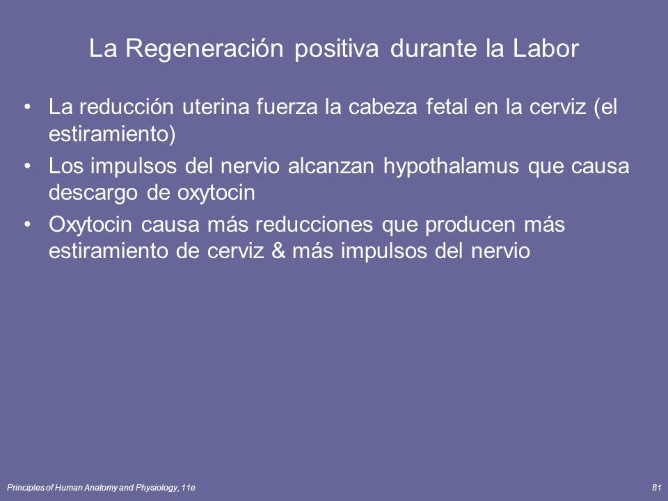 La Regeneración positiva durante la Labor