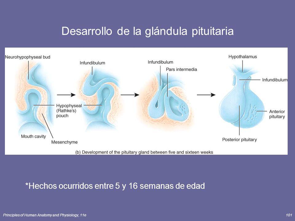 Desarrollo de la glándula pituitaria