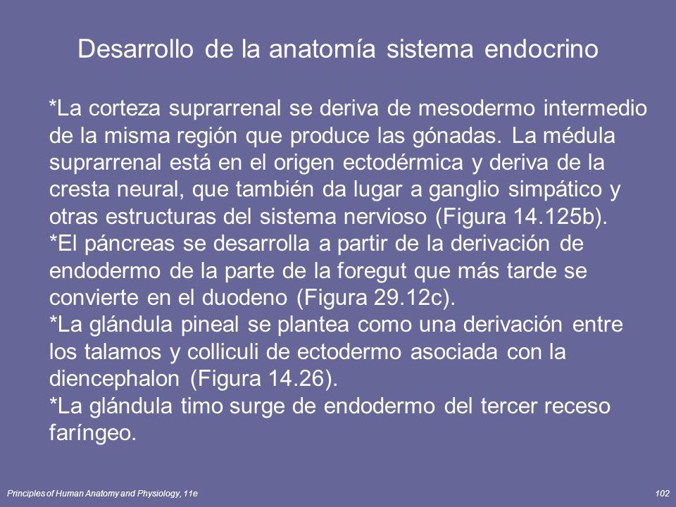 Desarrollo de la anatomía sistema endocrino