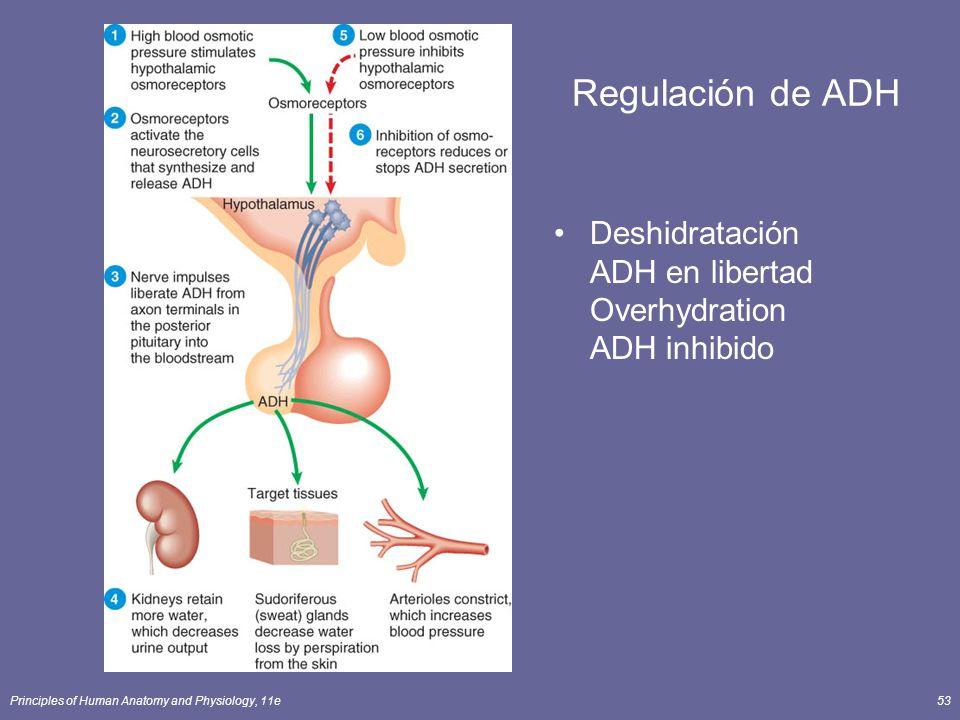 Regulación de ADH Deshidratación ADH en libertad Overhydration ADH inhibido.