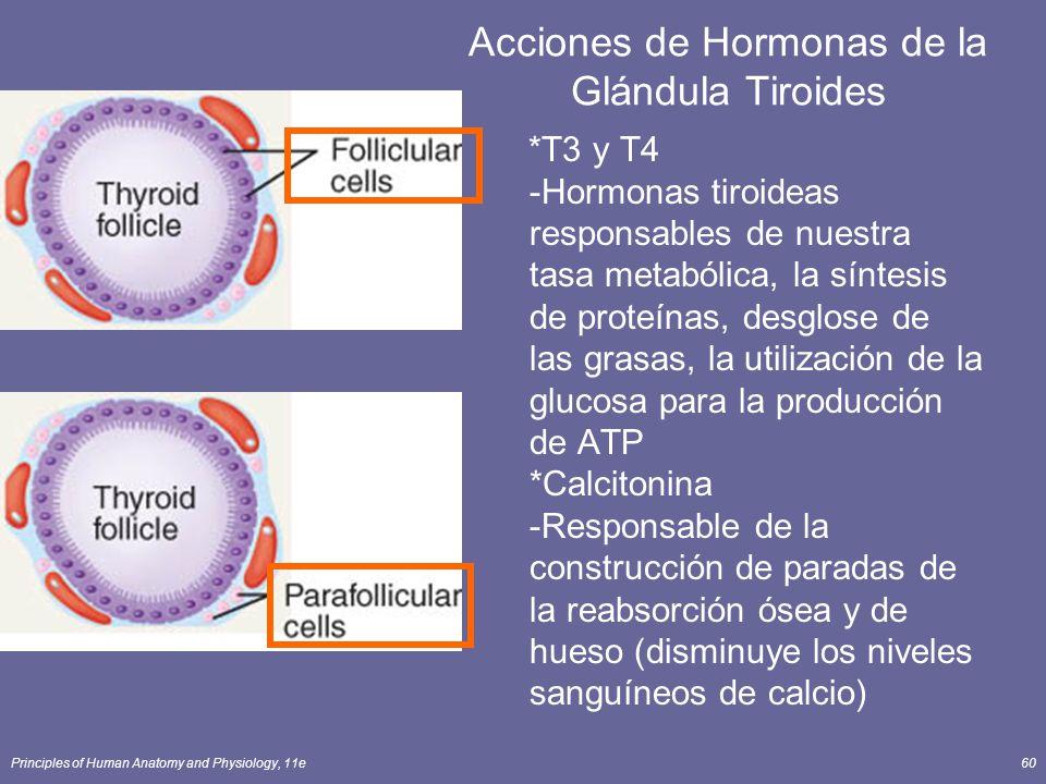 Acciones de Hormonas de la Glándula Tiroides