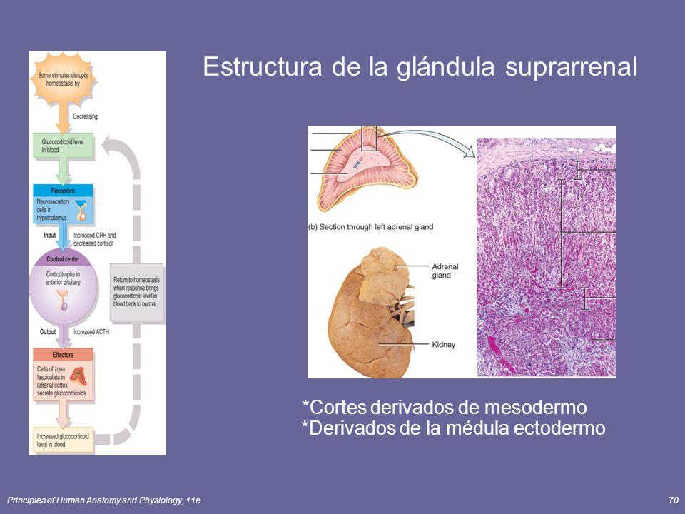 Estructura de la glándula suprarrenal