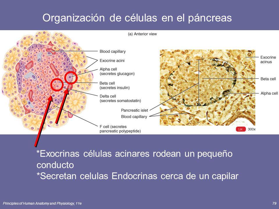 Organización de células en el páncreas