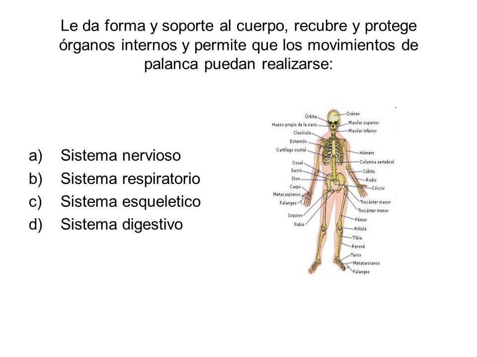 Le da forma y soporte al cuerpo, recubre y protege órganos internos y permite que los movimientos de palanca puedan realizarse: