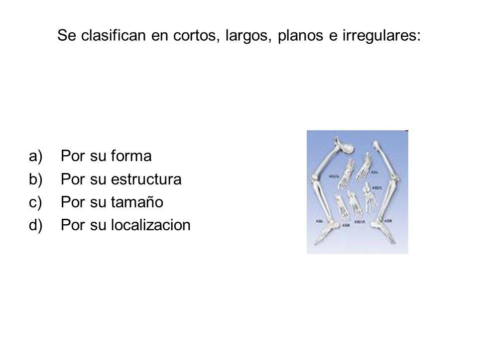 Se clasifican en cortos, largos, planos e irregulares: