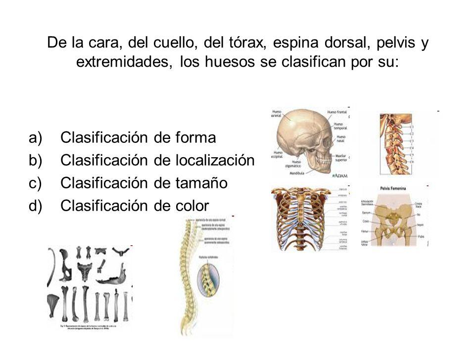 De la cara, del cuello, del tórax, espina dorsal, pelvis y extremidades, los huesos se clasifican por su: