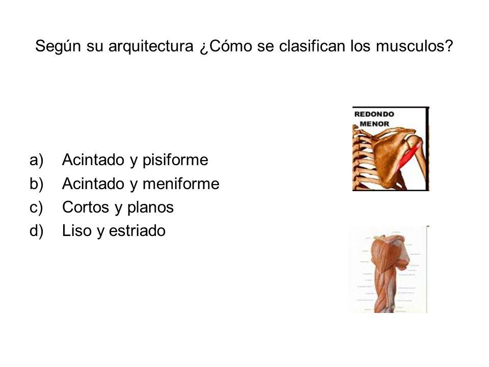 Según su arquitectura ¿Cómo se clasifican los musculos