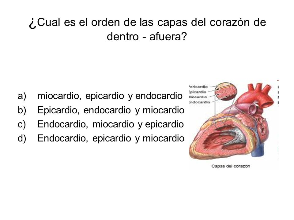 ¿Cual es el orden de las capas del corazón de dentro - afuera