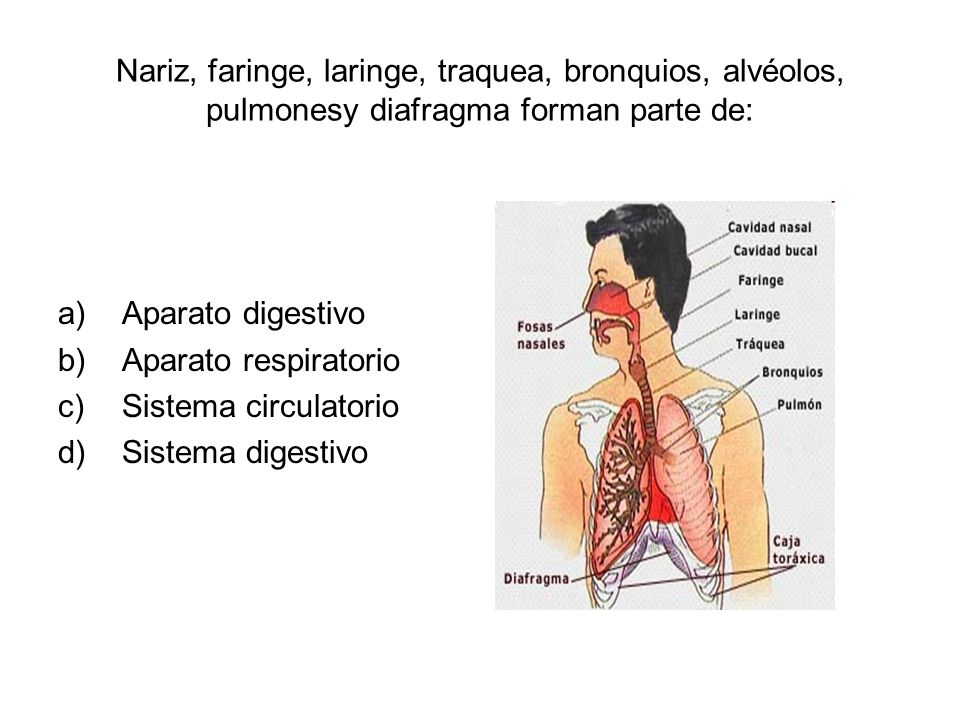Nariz, faringe, laringe, traquea, bronquios, alvéolos, pulmonesy diafragma forman parte de:
