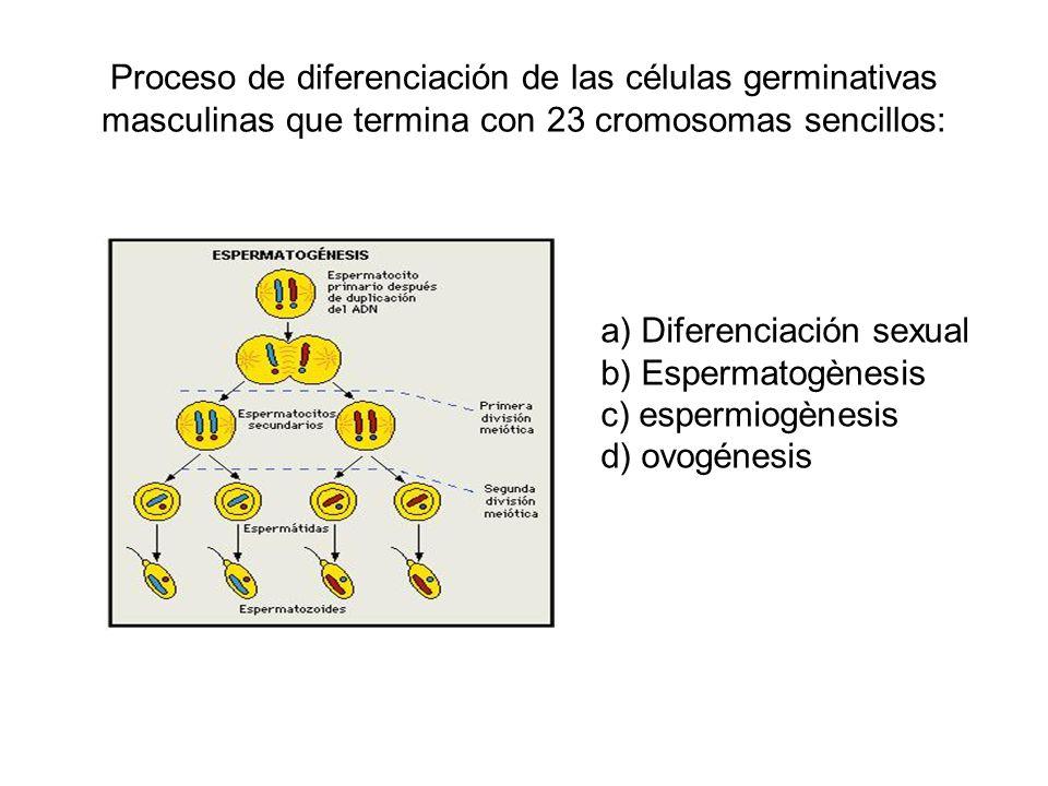 Proceso de diferenciación de las células germinativas masculinas que termina con 23 cromosomas sencillos: