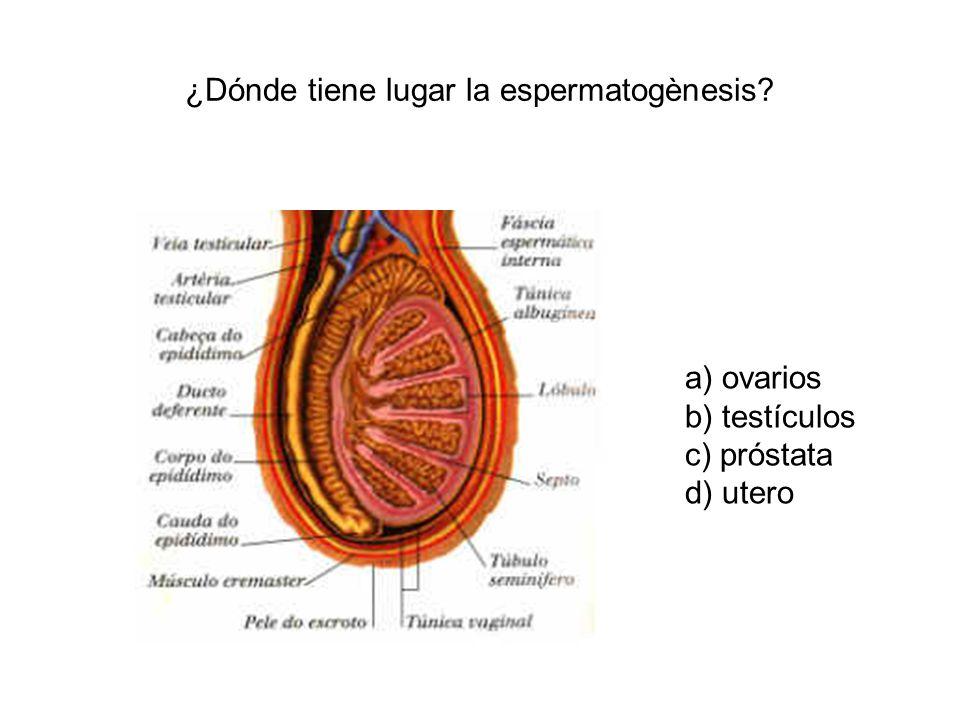 ¿Dónde tiene lugar la espermatogènesis