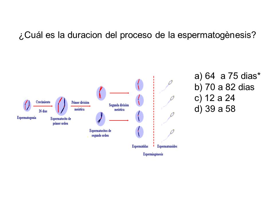 ¿Cuál es la duracion del proceso de la espermatogènesis