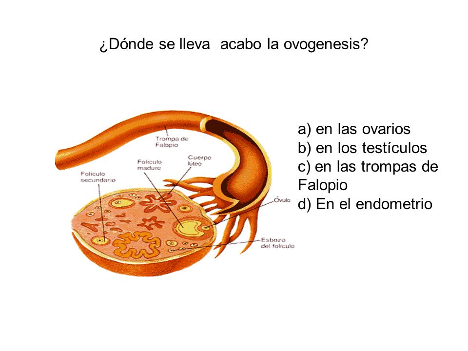 ¿Dónde se lleva acabo la ovogenesis