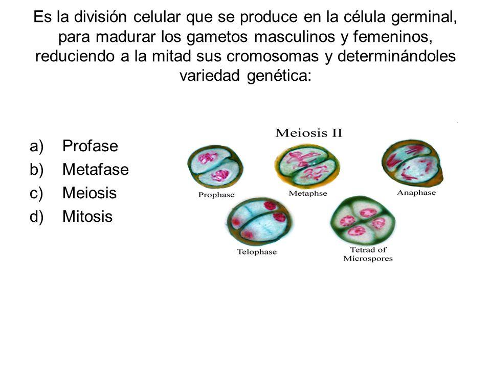 Es la división celular que se produce en la célula germinal, para madurar los gametos masculinos y femeninos, reduciendo a la mitad sus cromosomas y determinándoles variedad genética: