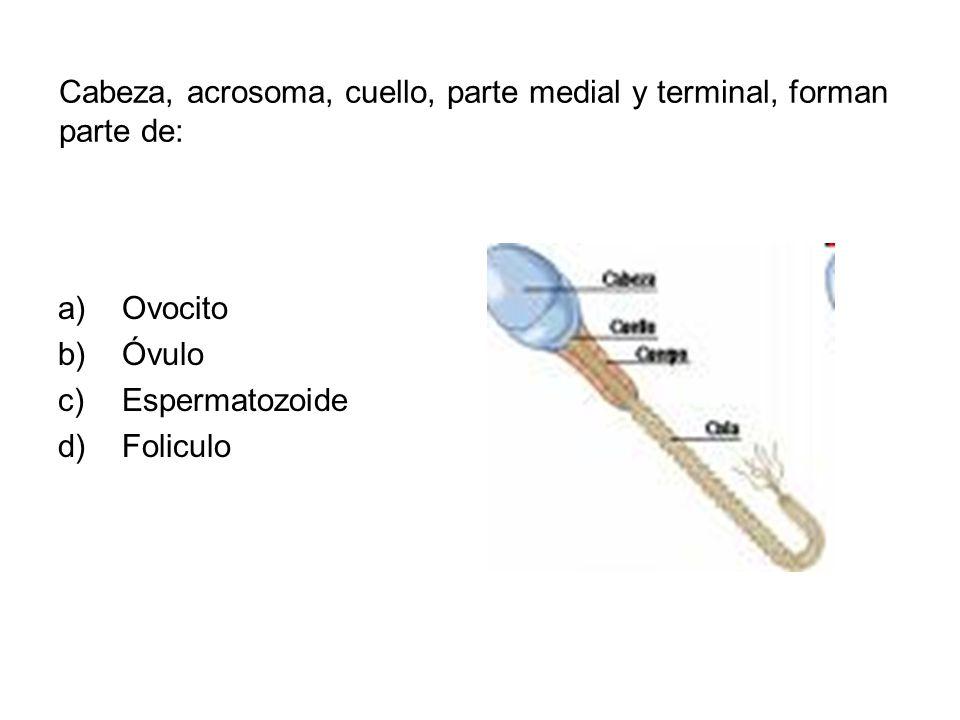 Cabeza, acrosoma, cuello, parte medial y terminal, forman parte de: