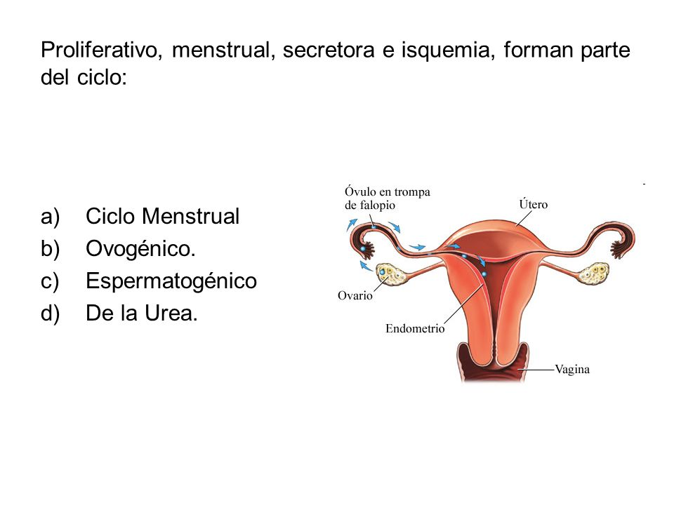 Proliferativo, menstrual, secretora e isquemia, forman parte del ciclo: