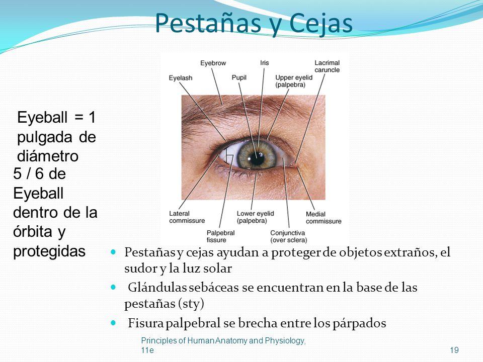 Pestañas y Cejas Eyeball = 1 pulgada de diámetro