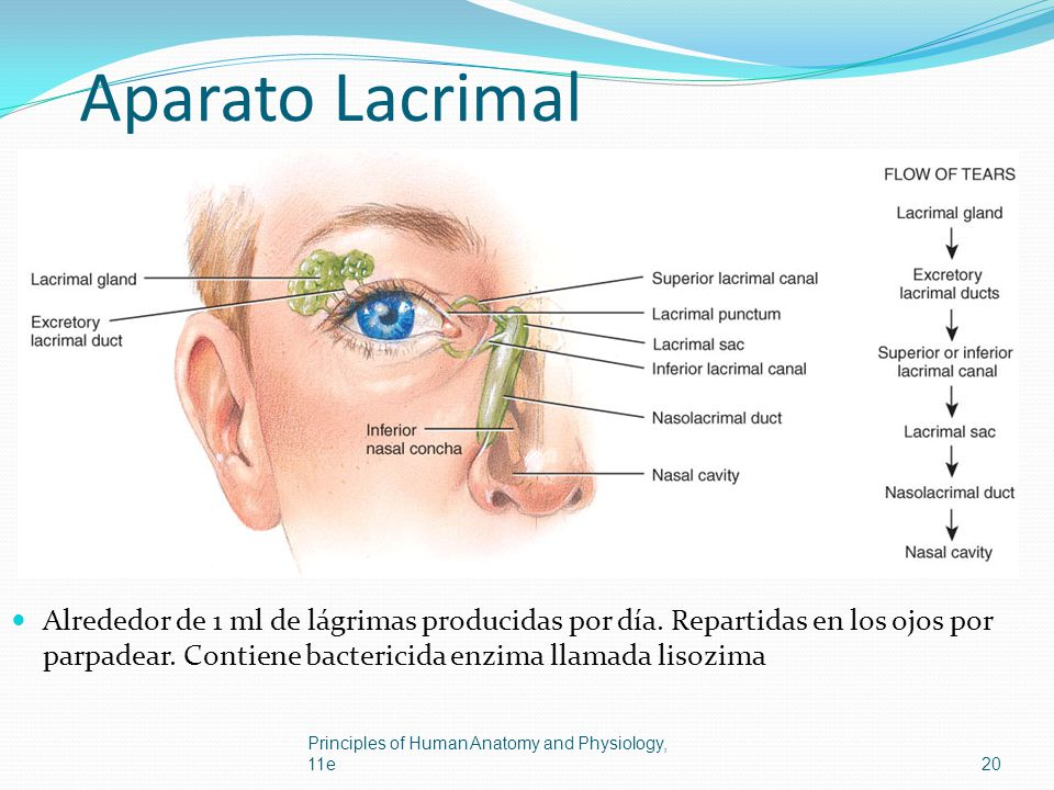 Aparato Lacrimal Alrededor de 1 ml de lágrimas producidas por día. Repartidas en los ojos por parpadear. Contiene bactericida enzima llamada lisozima.