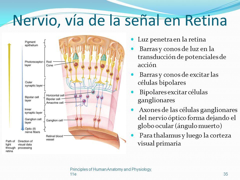 Nervio, vía de la señal en Retina
