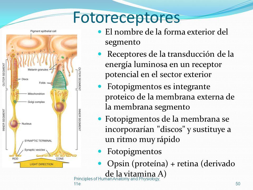 Fotoreceptores El nombre de la forma exterior del segmento