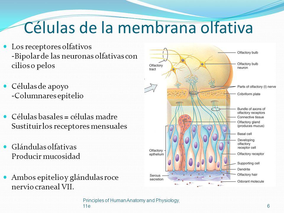 Células de la membrana olfativa