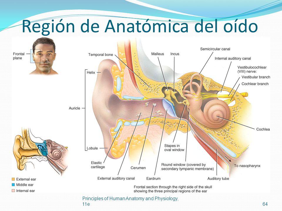 Región de Anatómica del oído