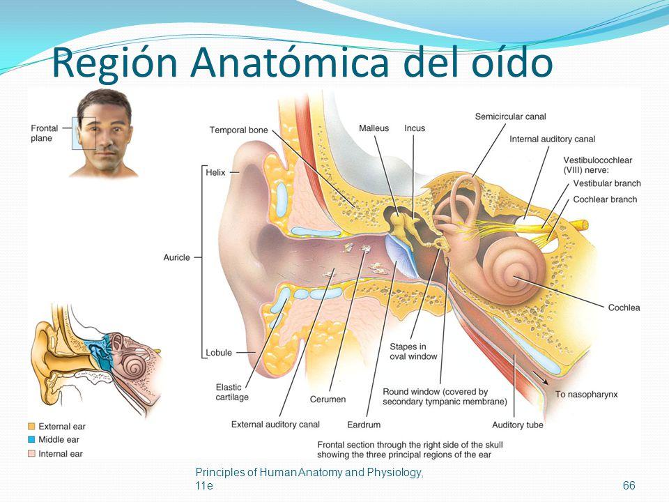 Región Anatómica del oído