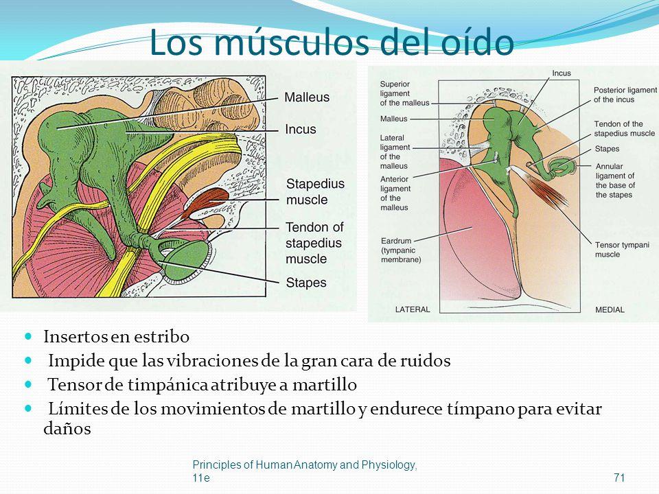 Los músculos del oído Insertos en estribo