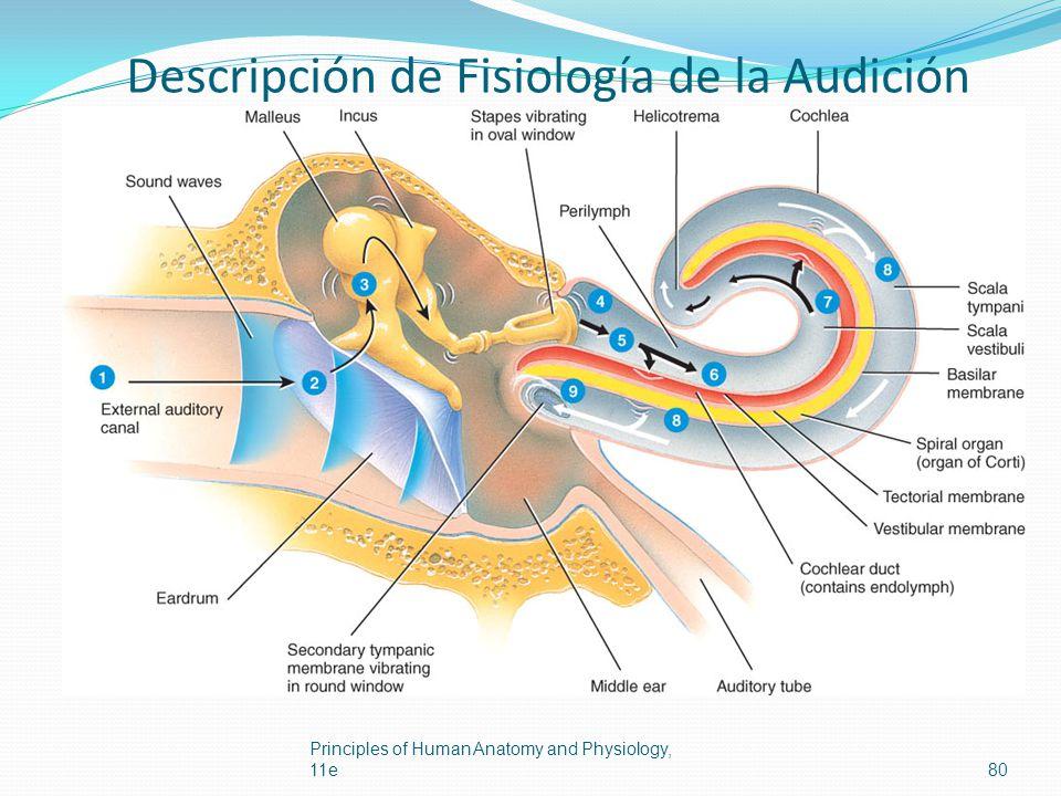 Descripción de Fisiología de la Audición