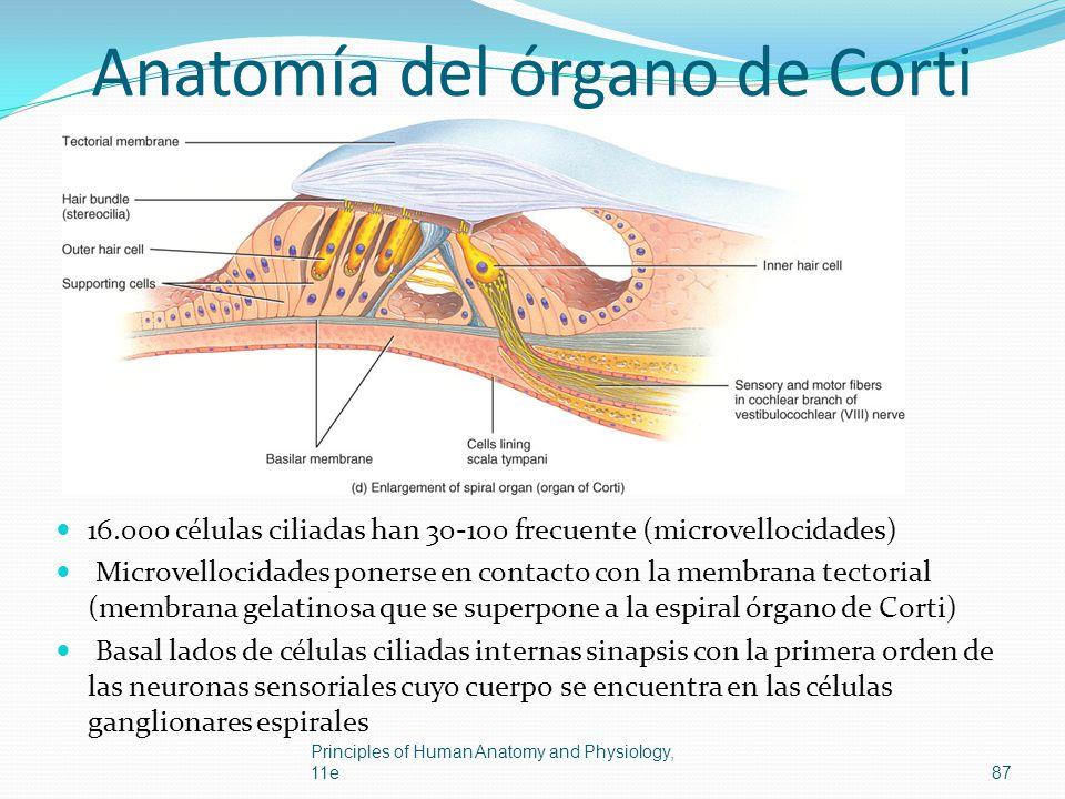 Anatomía del órgano de Corti