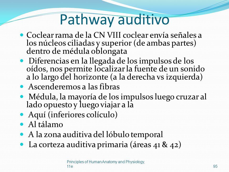Pathway auditivo Coclear rama de la CN VIII coclear envía señales a los núcleos ciliadas y superior (de ambas partes) dentro de médula oblongata.