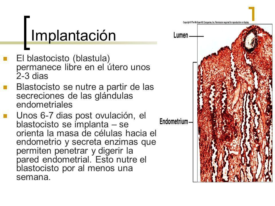 Implantación El blastocisto (blastula) permanece libre en el útero unos 2-3 dias.