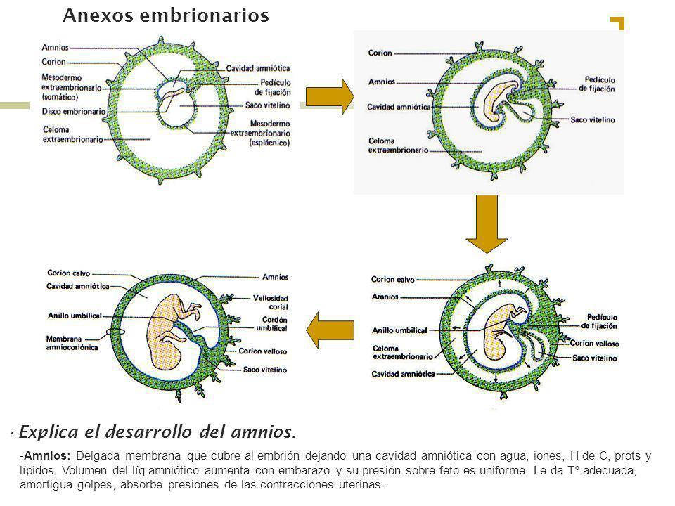 Anexos embrionarios Explica el desarrollo del amnios.