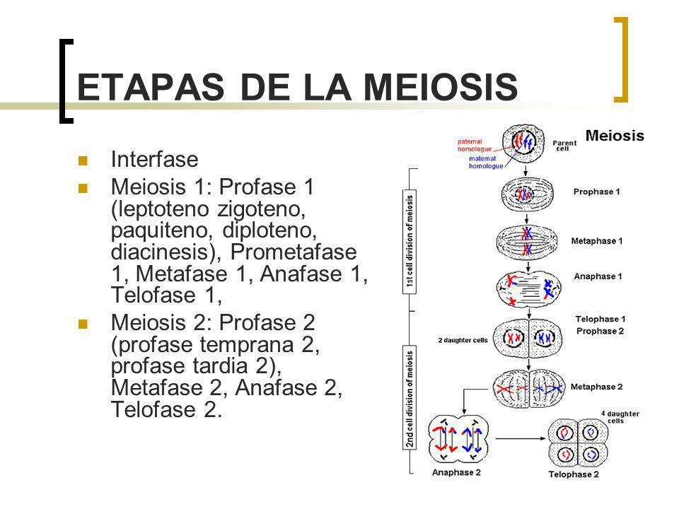 ETAPAS DE LA MEIOSIS Interfase