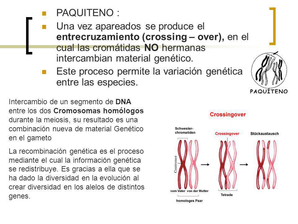Este proceso permite la variación genética entre las especies.
