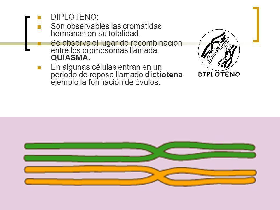 DIPLOTENO:Son observables las cromátidas hermanas en su totalidad. Se observa el lugar de recombinación entre los cromosomas llamada QUIASMA.