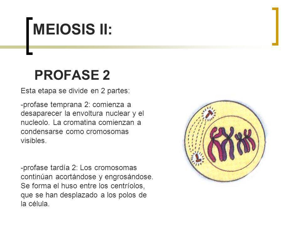 MEIOSIS II: PROFASE 2 Esta etapa se divide en 2 partes: