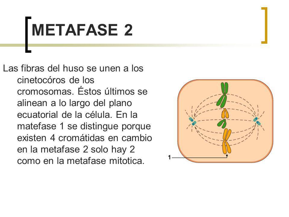 METAFASE 2