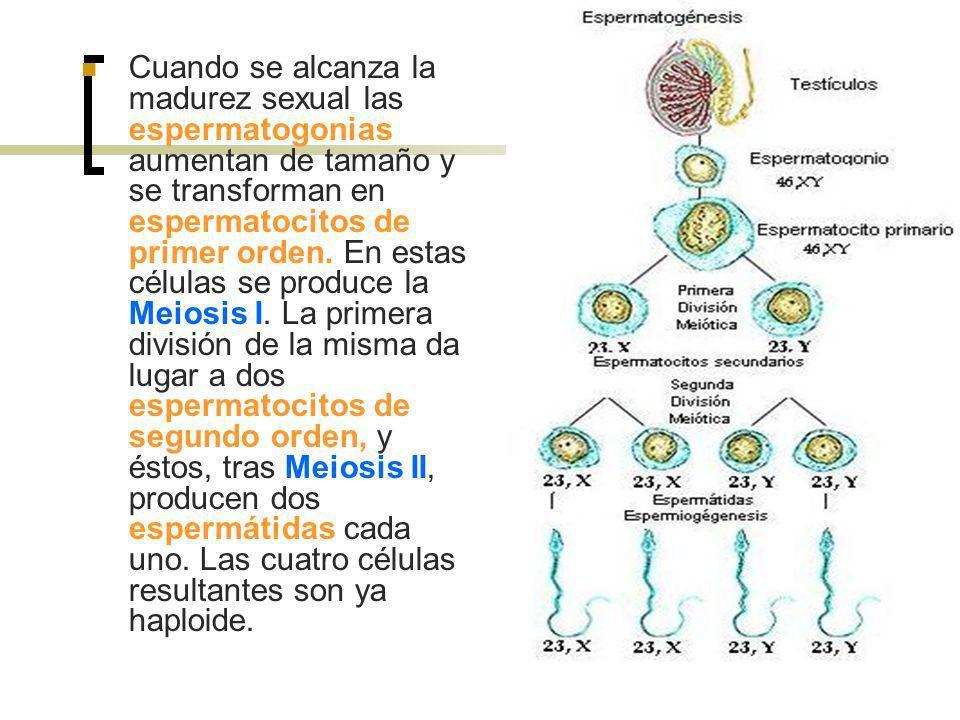 Cuando se alcanza la madurez sexual las espermatogonias aumentan de tamaño y se transforman en espermatocitos de primer orden.