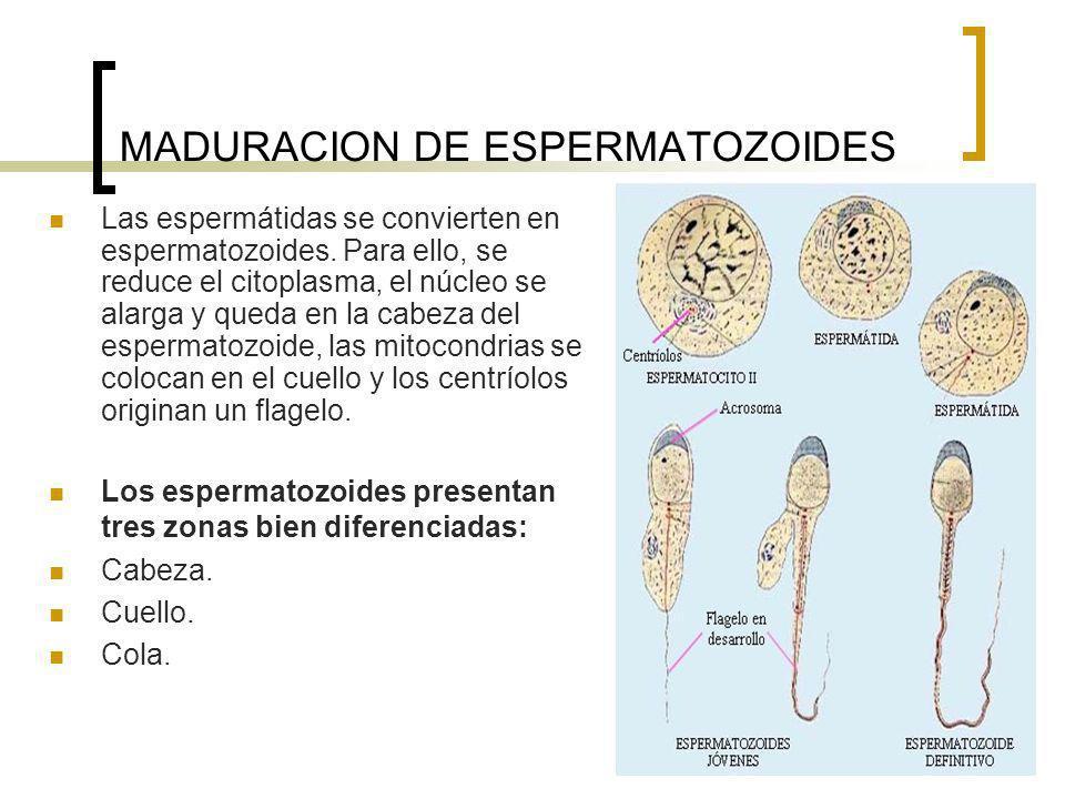 MADURACION DE ESPERMATOZOIDES