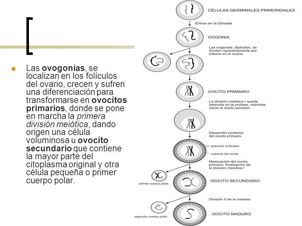 Las ovogonias, se localizan en los folículos del ovario, crecen y sufren una diferenciación para transformarse en ovocitos primarios, donde se pone en marcha la primera división meiótica, dando origen una célula voluminosa u ovocito secundario que contiene la mayor parte del citoplasma original y otra célula pequeña o primer cuerpo polar.