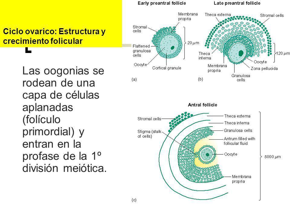 Ciclo ovarico: Estructura y crecimiento folicular