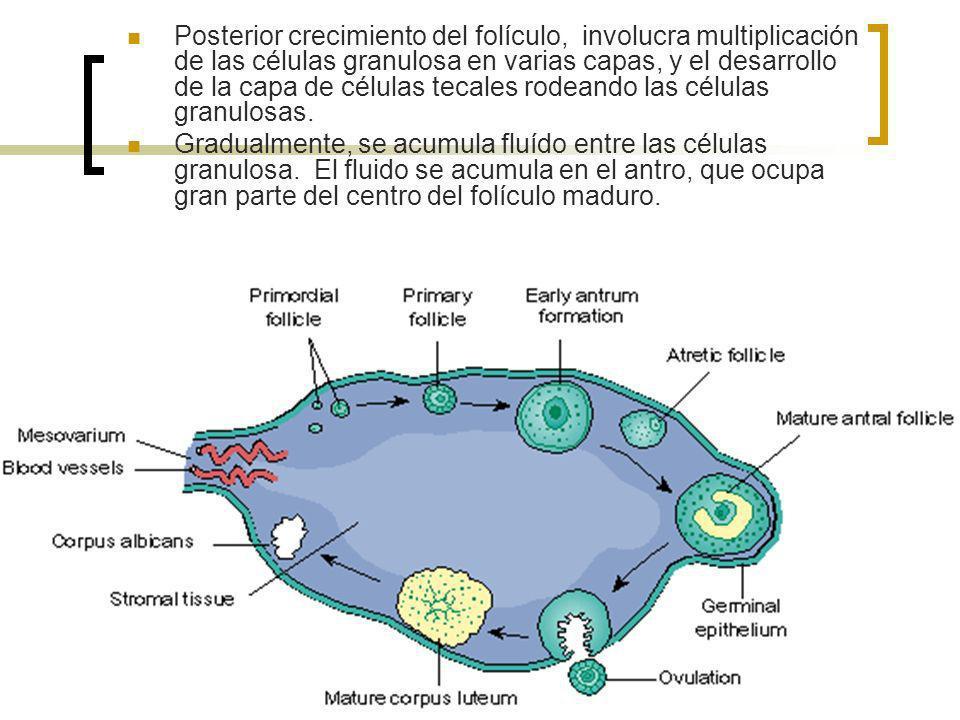 Posterior crecimiento del folículo, involucra multiplicación de las células granulosa en varias capas, y el desarrollo de la capa de células tecales rodeando las células granulosas.