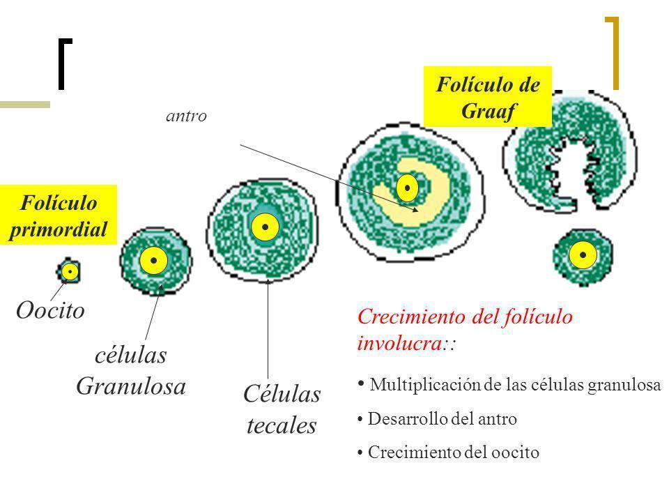 Oocito células Granulosa Células tecales Folículo de Graaf