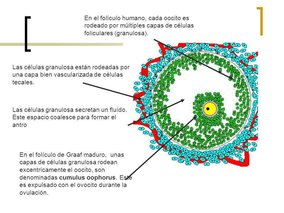 En el folículo humano, cada oocito es rodeado por múltiples capas de células foliculares (granulosa).