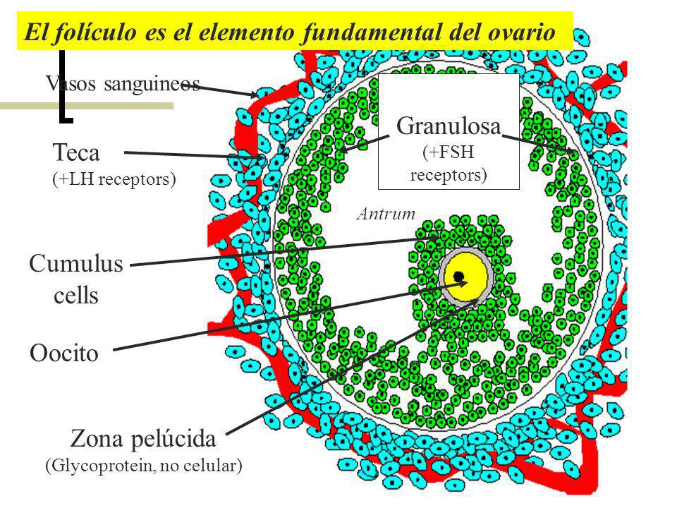 El folículo es el elemento fundamental del ovario