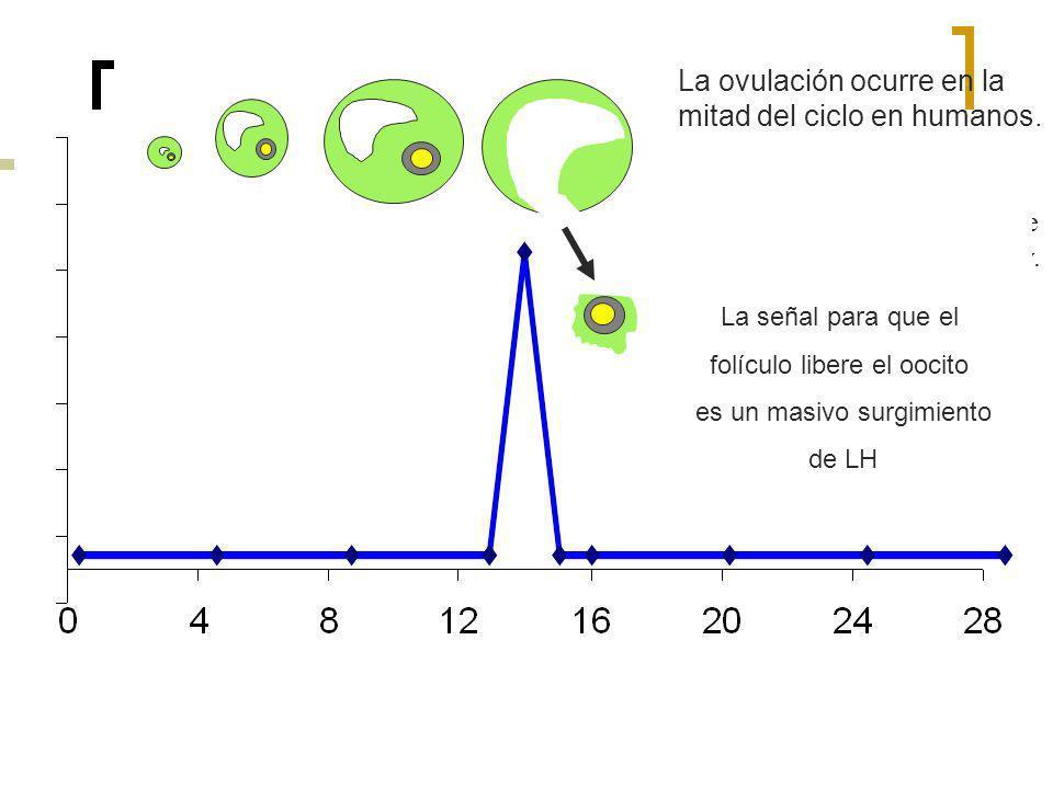 La ovulación ocurre en la mitad del ciclo en humanos.